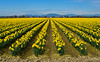 Skagit Valley Daffodils (SonjaPetersonPh♡tography) Tags: mtvernon mountvernon laconner skagitvalley skagitcounty daffodils skagitvalleydaffodilfestival festival washington washingtonstate washingtonmountvernon stateofwashington nikon nikond5300 yellow flowers plants yellowflowers nature farms valley trees scenery scenic landscapes
