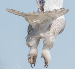 Goodbye... see you next Fall! (rdroniuk) Tags: birds raptors owl birdsofprey owls snowyowl snowyowlirruption buboscandiacus oiseaux oiseauxdeproie rapaces hibou hiboublanc harfangdesneiges