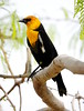 Yellow-headed blackbird (Xanthocephalus xanthocephalus) (dzittin) Tags: yellowheaded blackbird xanthocephalus las vegas nevada tree