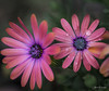 IMG_1663 (Aaron Burrows Photography) Tags: osteospermum africandaisy pinkflower flowerswithwaterdroplets flowerwithraindrops raindrop waterdroplets waterdrop waterdrops macrophotography macro macroflower
