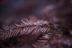 Day 2: Close Up (cara zimmerman) Tags: snow winter spring freelensing cold backyard christmastree