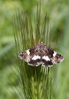 Noctuidae, Tyta luctuosa