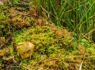 sundews - Biebrza Marshes, NE Poland