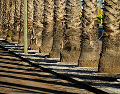 'Look hard at what pleases you and harder at what doesn't ... ' (Colette) (Canadapt) Tags: palm trees trunks shadow street pattern graphic loures portugal canadapt