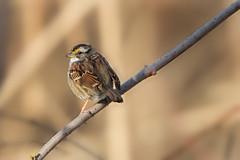 White-throated Sparrow (Carlos Carreras) Tags: gatewaynationalrecreationarea sandyhook newjersey nature nj njshore njbirds whitethroatedsparrow wildlife birds bird highlandsnj