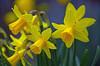 Mini Daffs (eric robb niven) Tags: ericrobbniven scotland dundee dunkeld perthshire flowers springwatch