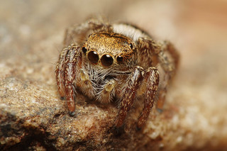 Golden Brown Jumping Spider (#4)