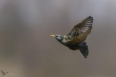 Szpak, Common Starling (Sturnus vulgaris) ... (Rafal Szozda) Tags: birds nature animals wildlife colors flight meadow spring nikon nikkor lens lubuskie poland d500 nikkor30028vr