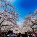 Cherry blossoms in Ueno Park : 上野公園にて