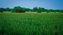 Peony grower (_Matt_T_) Tags: agriculture region ƒ8 flower contrasts niagara smcpm85mmf20 grower colour stcatharines ontario canada ca