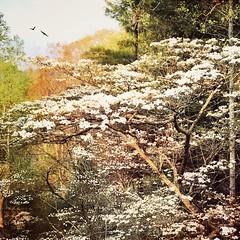 Mountain Dogwood (jeanne.marie.) Tags: blossoms spring beaverdamvalley elkmountain ashevillenc mountains floweringtrees trees dogwood
