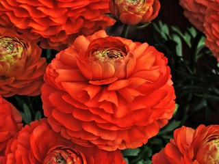 Ranunkeln im Blumenkasten
