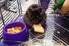 #Hamsters: (FluffWonderland) Tags: hamsters