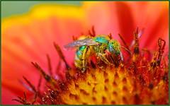 Agapostemon has returned (tdlucas5000) Tags: bee greenbee agapostemon macro closeup bokeh creamybokeh d850 sigma105 california