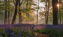 Fantasy Land... (Aleem Yousaf) Tags: blue bells wanstead park epping forest bluebells spring flowers nikkor nikon d810 fog happy outside pretty fun bloom leaf camera purple air sunrays trees classic shadow light morning photography cute sunburst sunrise london nature landscape sky green wild plants path walking trunk fantasy land mist grass garden tree