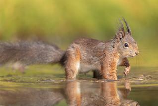 Red Squirrel / Eekhoorn