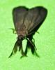 Forester moth Pollanisus sp Zygaenidae Airlie Beach rainforest P1230812 (Steve & Alison1) Tags: forester moth pollanisus sp zygaenidae airlie beach rainforest