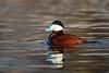 Ruddy Duck-47753.jpg (Mully410 * Images) Tags: avian duck coonrapidsdam ruddyduck waterfowl birds birding birder birdwatching bird mississippinationalriverrecreationarea nationalpark