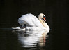 Mute Swan ANR 19th April 2018 (Nigel B2010) Tags: swan mute beauty graceful serene attenborough nottinghamshire uk midlands wildlife nature olympus omd em1mkii panasonic 100400f463 spring april