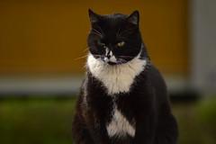 Thoughtful cat (haidem3) Tags: cat pets animals kitty closeup shallowbackground