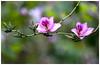 宮粉羊蹄甲    Bauhinia variegata (Alice 2018) Tags: bokeh hdr 2018 spring hongkong green pink canon canonef70200mmf4lisusm eos eos6d plant flower