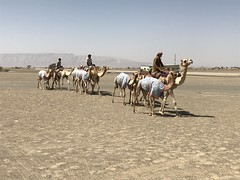 camels and trainers - Mar 2018 (Patrissimo2017) Tags: alain uae camels jebelhafeet
