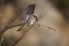 Hora de construir o ninho! (Time to build the nest!) (Carlos Santos - Alapraia) Tags: pardal nest ngc ourplanet animalplanet canon nature natureza wonderfulworld highqualityanimals unlimitedphotos fantasticnature birdwatcher ave bird pássaro