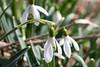 Snowdrop (gripspix (OFF)) Tags: 20180322 wildflower wildblume snowdrop schneeglöckchen galanthusnivalis frühblüher spring frühling