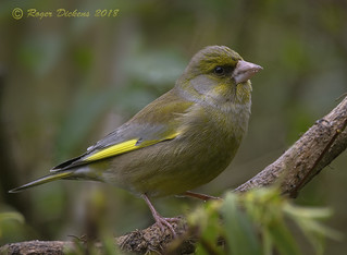 Greenfinch 33