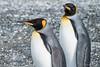 Pingüino Rey  -  Explore 02-04-2018 (robertopastor) Tags: cabodehornos regióndemagallanesydelaan regióndemagallanesydelaantárticachilena ar tierradelfuego argentina ushuaia canal beagle pingüinorey kingpenguin