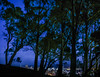 the forest through the trees (pbo31) Tags: sanfrancisco california nikon d810 night dark march 2018 spring boury pbo31 black color tankhill clarendonheights over view city urban silhouette trees transamerica baybridge skyline blue bluehour