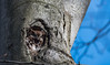 Petit duc maculé/Eastern screech owl -11533 (michel paquin2011) Tags: rouge petit duc maculé roux nocturne rapace mâle