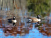 Canada Geese Floating on Water - by fluba (KevinBJensen) Tags: reflection pond lake rippled river freshwater floating water plant standing canada goose geese
