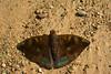 Powdered Baron / Malay Baron (LindaAlisto) Tags: o lindzky philippine lepidoptera butterfly butterflies powdered baron malay euthalia monina nymphalidae nymphalinae