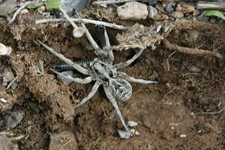 Lycosa tarantula.