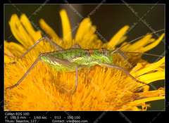 Grasshopper (steropleurus sp) (__Viledevil__) Tags: insect grasshopper green nature bug macro closeup jump grass wildlife legs garden grasshoppers animal hop summer detail antenna close creature hopper jumping outdoors animals eyes sun orthoptera fauna steropleurus sp