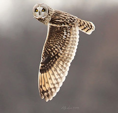 Yellow Eyes & Huge Wings (CrowInFlight) Tags: owl shortearedowl bird rochesterny flight raptor animal