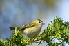 Golcrest (Paul Wrights Reserved) Tags: colour colours colourful color coloured bird birding birdphotography birds birdwatching goldcrest beautiful beauty sweet cute animal nature naturephotography