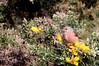 linotte mélodieuse ( Carduelis cannabina ) St Pierre Lopérec 180406i2 (papé alain) Tags: oiseaux passereaux fringillidés linottemélodieuse cardueliscannabina commonlinnet stpierrelopérec morbihan bretagne france