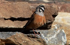 P1450212 - Rock Bunting - male - Western Himalayas ~3600m Altitude (forest venkat) Tags: fauna flora himalayas wow superb n sparkling shot my friend excellentimagelovelymyfriendlovelycoolcolorsatmosphericappreciatebeautifulstunningnsuperbshotmyfriendgracefulpicturemyfriendwellcamouflagealovelypicwellcomposedmyfriendbeautifullightand beautifulthanksforyou'revisitverynicecompositionandcapturedearfriendsuperbnwellcomposed congratsdearfriendsuperbnwellcomposed masterpiecework congratsdearfriendsuperbpicture greatmacrowork congratulationsdearfriendamazingnwonderfulpicmyfriendbeautifulpicஅழகானமற்றும்சிறந்தபுகைப்படம்என்நண்பர்excellentshotsuperdearfriend அழகான மற்றும் சிறந்த புகைப்படம் என் நண்பர் superbnwellcomposed congratsdearfriend ஒரு அழகு adorable lovely thanks for your visit elegant she looks wowprettynlovely shelooksthrough pretty shelooks care nature rock bird animal europe belgium france netherlands finland poland amsterdam moscow england iceland bengal africa southafrica norway sweden germany denmark italy rome paris flickr