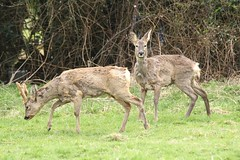 Roe Deer Pair - Shedding their winter coats (glostopcat) Tags: roedeer deer roebuck roedoe animals mammals wildlife april spring glos