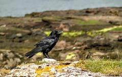 Raven, Great Cumbrae (Eddie the Eagle-eye) Tags: birds wildlife clyde cumbrae coast islands sea shore crows