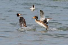 pronti allo scontro (taronik) Tags: animali acqua lago cacciafotografica natura uccelli svassi