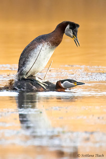 Red-necked Grebes during the spring mating season
