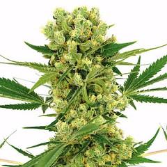 amnesia-haze-marijuana-seeds_large (Watcher1999) Tags: amnesia haze cannabis seeds medical growing plant marijuana bob marley smoking weed ganja reggae legalize it