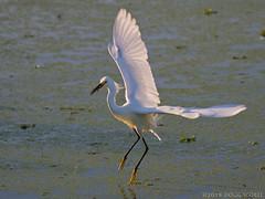 Fly Fishing (Doug Scobel) Tags: snowy egret egretta thula circlebbar reserve