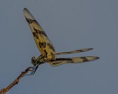 Halloween pennant [Celithemis eponina] (Fred Roe) Tags: nikond7100 nikkorafs80400mmf4556ged nikonafsteleconvertertc14eii nature wildlife insect dragonfly halloweenpennant celithemiseponina