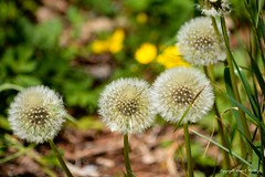 misunderstood (Little Hand Images) Tags: dandelion seeds puffs weed plant nature