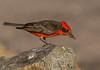 Vermilion Flycatcher (Pyrocephalus obscurus) (NigelJE) Tags: vermilionflycatcher flycatcher pyrocephalusobscurus pyrocephalus tyrannidae tyrantflycatcher nigelje patagonia patagoniastatepark arizona az