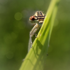 Curious (FocusPocus Photography) Tags: libelle damselfly wiese meadow gras grass insekt insect neugierig curious versteckt hidden hiding